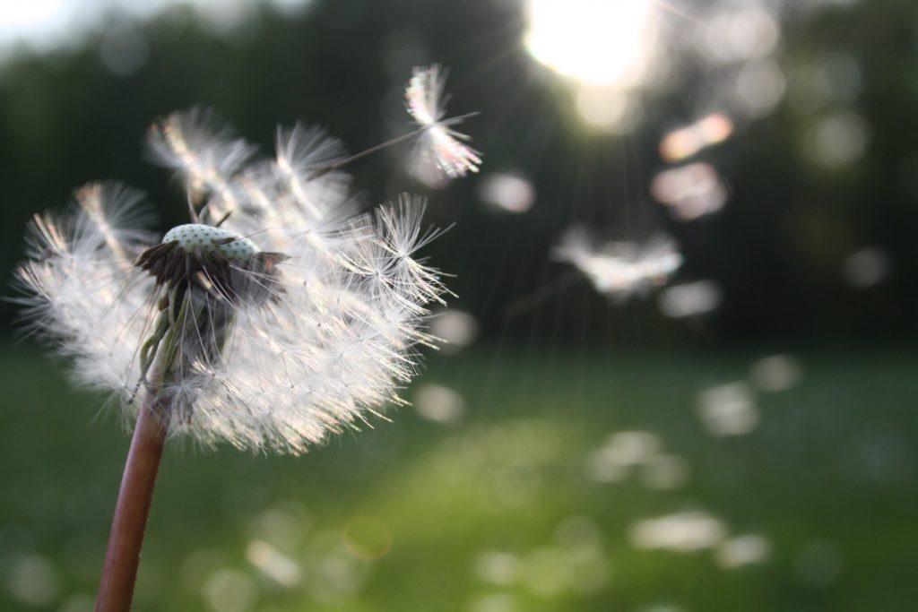 Symbolbild für Jin Shin Jyutsu Abnehmen: leicht fliegen Samen einer Pusteblume davon