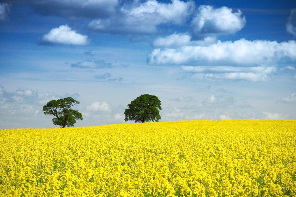 Symbolbild für Jin Shin Jyutsu Angst: Gelbes Rapsfeld vor blauem Himmel